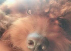 寻狗启示,寻找小型棕毛泰迪-毛毛,它是一只非常可爱的宠物狗狗,希望它早日回家,不要变成流浪狗。