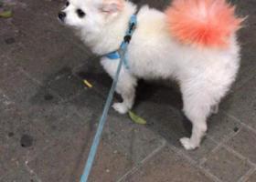寻狗启示,一岁白色博美宝宝10月底丢失的,它是一只非常可爱的宠物狗狗,希望它早日回家,不要变成流浪狗。
