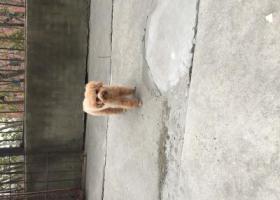 寻狗启示,一只棕黄色母泰迪走失,它是一只非常可爱的宠物狗狗,希望它早日回家,不要变成流浪狗。