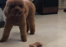 寻狗启示,汕头龙湖区寻一深棕泰迪 万分着急 重金酬谢,它是一只非常可爱的宠物狗狗,希望它早日回家,不要变成流浪狗。