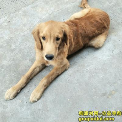 许昌丢狗,请好心人帮忙找找,陪伴孩子的金毛,它是一只非常可爱的宠物狗狗,希望它早日回家,不要变成流浪狗。