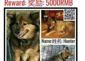 寻狗启示,棕黑色立耳中型狗于潍坊西路走失,它是一只非常可爱的宠物狗狗,希望它早日回家,不要变成流浪狗。