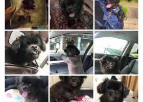 寻狗启示,上海市普陀区怒江北路酬谢五千元寻找京巴串,它是一只非常可爱的宠物狗狗,希望它早日回家,不要变成流浪狗。