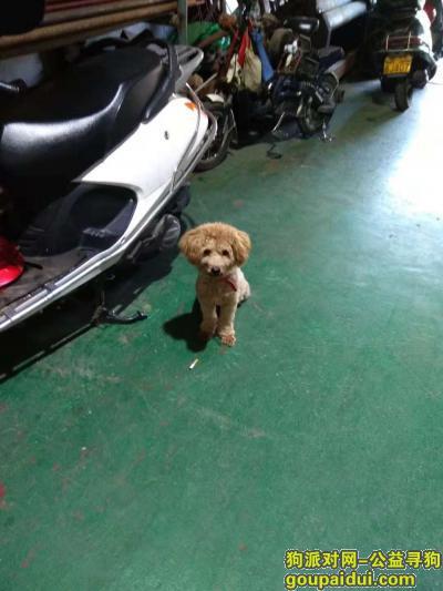 ,汕头护堤路跑来一只泰迪,它是一只非常可爱的宠物狗狗,希望它早日回家,不要变成流浪狗。