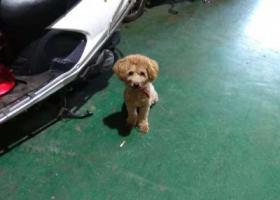 寻狗启示,汕头护堤路跑来一只泰迪,它是一只非常可爱的宠物狗狗,希望它早日回家,不要变成流浪狗。