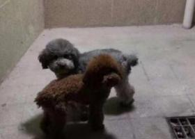 寻狗启示,上海市浦东新区创新西路寻找两只泰迪,它是一只非常可爱的宠物狗狗,希望它早日回家,不要变成流浪狗。