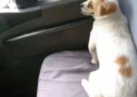 寻狗启示,宝山区祁连山路寻狗,白色京巴,它是一只非常可爱的宠物狗狗,希望它早日回家,不要变成流浪狗。