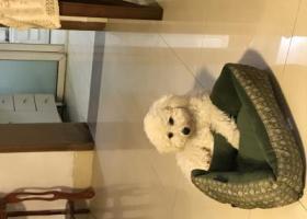 寻狗启示,寻找比熊公犬,酬金三千元,它是一只非常可爱的宠物狗狗,希望它早日回家,不要变成流浪狗。