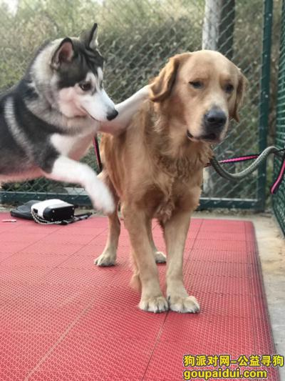 鹤壁寻狗启示,希望爱心认识帮助狗狗回家,它是一只非常可爱的宠物狗狗,希望它早日回家,不要变成流浪狗。