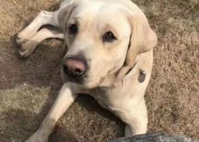 寻狗启示,资阳雁江区春天桥重金寻找拉布拉多,它是一只非常可爱的宠物狗狗,希望它早日回家,不要变成流浪狗。