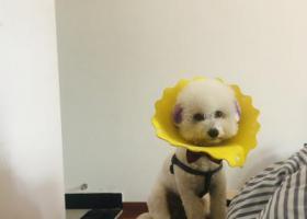 寻狗启示,紫色耳朵,没穿衣服,戴着蝴蝶结,身上有牵引背带,它是一只非常可爱的宠物狗狗,希望它早日回家,不要变成流浪狗。