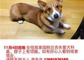 寻狗启示,上海宝山区恒高家园寻找柯基犬,它是一只非常可爱的宠物狗狗,希望它早日回家,不要变成流浪狗。
