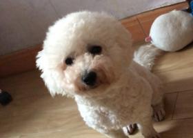 寻狗启示,寻找爱犬球球,付归还者4000元酬金,它是一只非常可爱的宠物狗狗,希望它早日回家,不要变成流浪狗。