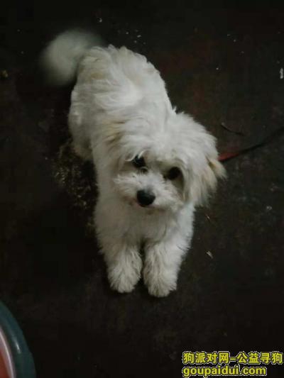邵阳找狗,找狗比熊串串一条,公狗,它是一只非常可爱的宠物狗狗,希望它早日回家,不要变成流浪狗。