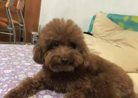 寻狗启示,棕色泰迪狗lucky走失,请大家帮忙寻找,它是一只非常可爱的宠物狗狗,希望它早日回家,不要变成流浪狗。