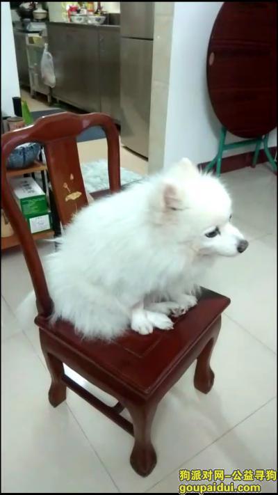 寻狗启示,广州市越秀区梅花路纯白色博美犬,它是一只非常可爱的宠物狗狗,希望它早日回家,不要变成流浪狗。