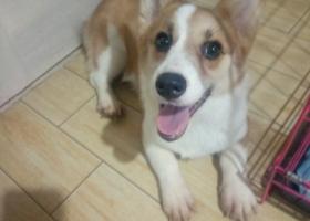 寻狗启示,上海浦东新区北蔡镇走失一条柯基犬,它是一只非常可爱的宠物狗狗,希望它早日回家,不要变成流浪狗。