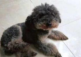 寻狗启示,广汉市顺德安居小区寻找9岁贵宾,它是一只非常可爱的宠物狗狗,希望它早日回家,不要变成流浪狗。