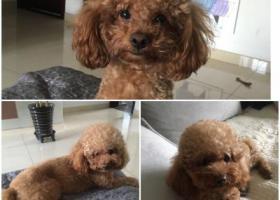 寻狗启示,急寻爱犬:醋宝,妈妈等你回家!,它是一只非常可爱的宠物狗狗,希望它早日回家,不要变成流浪狗。