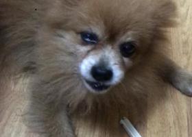 寻狗启示,松江沃尔玛附近捡到一只黄色博美,它是一只非常可爱的宠物狗狗,希望它早日回家,不要变成流浪狗。
