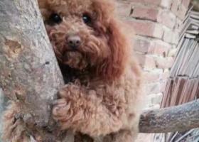 寻狗启示,济南长清急寻泰迪狗狗,它是一只非常可爱的宠物狗狗,希望它早日回家,不要变成流浪狗。