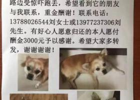 柳州市航二路愿景品格小区酬谢三千元寻找蝴蝶犬