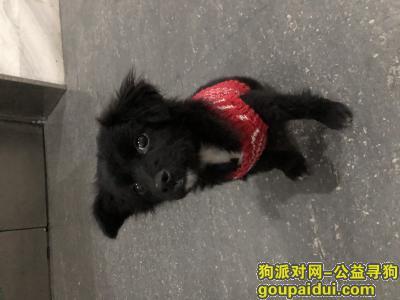 寻狗启示,上海普陀区同进理想城捡到一只黑色小狗,它是一只非常可爱的宠物狗狗,希望它早日回家,不要变成流浪狗。