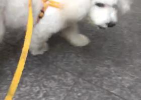 寻狗启示,寻狗启示   比熊犬  有重谢,它是一只非常可爱的宠物狗狗,希望它早日回家,不要变成流浪狗。