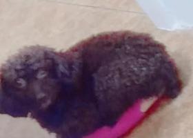 寻狗启示,寻狗启示在眉山市洪雅县丢失,它是一只非常可爱的宠物狗狗,希望它早日回家,不要变成流浪狗。
