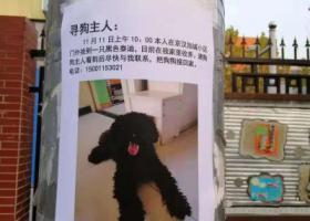 寻狗启示,石景山区捡到黑色泰迪一只,它是一只非常可爱的宠物狗狗,希望它早日回家,不要变成流浪狗。