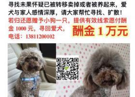 寻狗启示,#北京丰台寻狗#万元寻巧克力色泰迪成犬公狗,它是一只非常可爱的宠物狗狗,希望它早日回家,不要变成流浪狗。