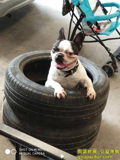寻狗启示,吴中区长桥街道黑白花法斗,它是一只非常可爱的宠物狗狗,希望它早日回家,不要变成流浪狗。
