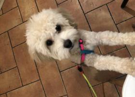 寻狗启示,一只奶白色的泰迪在徐州师范步行街走丢,它是一只非常可爱的宠物狗狗,希望它早日回家,不要变成流浪狗。