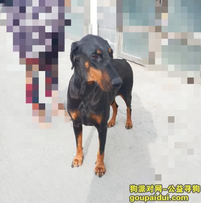松原寻狗网,大型杜宾犬寻主人(不限省份),它是一只非常可爱的宠物狗狗,希望它早日回家,不要变成流浪狗。
