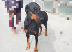 寻狗启示,大型杜宾犬寻主人(不限省份),它是一只非常可爱的宠物狗狗,希望它早日回家,不要变成流浪狗。