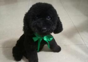 寻狗启示,寻狗启事黑色泰迪身穿黄色衣服,它是一只非常可爱的宠物狗狗,希望它早日回家,不要变成流浪狗。