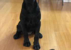 寻狗启示,房山寻黑色公四个月拉布拉多,它是一只非常可爱的宠物狗狗,希望它早日回家,不要变成流浪狗。