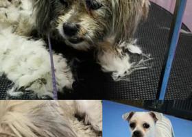 寻狗启示,福田保税区捡到西施串串一只,它是一只非常可爱的宠物狗狗,希望它早日回家,不要变成流浪狗。