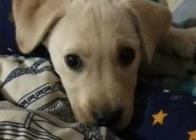 寻狗启示,丢失一条奶白色拉布拉多两个多月的幼犬,它是一只非常可爱的宠物狗狗,希望它早日回家,不要变成流浪狗。