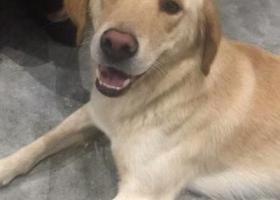 寻狗启示,寻找一只黄色的拉布拉多串串,它是一只非常可爱的宠物狗狗,希望它早日回家,不要变成流浪狗。