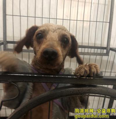 寻狗启示,萧山区宁安社区捡到一只剪毛的贵宾狗,它是一只非常可爱的宠物狗狗,希望它早日回家,不要变成流浪狗。