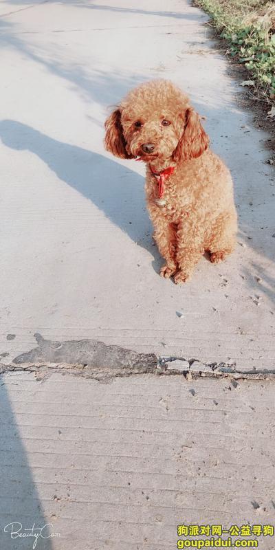 寻狗启示,寻找棕色泰迪宝宝,重谢,它是一只非常可爱的宠物狗狗,希望它早日回家,不要变成流浪狗。