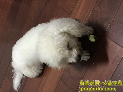,白色比熊16号走失,脖子上有一粉链,它是一只非常可爱的宠物狗狗,希望它早日回家,不要变成流浪狗。