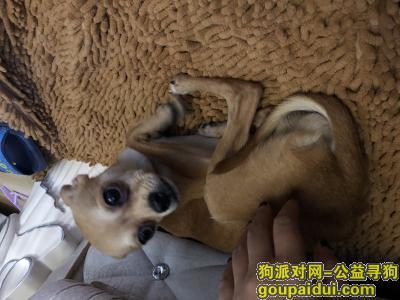 寻狗启示,谁家的小鹿狗丢了,群力捡到的,它是一只非常可爱的宠物狗狗,希望它早日回家,不要变成流浪狗。