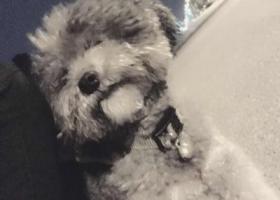 寻狗启示,我的灰色泰迪丢了在浦江镇附近遗失,它是一只非常可爱的宠物狗狗,希望它早日回家,不要变成流浪狗。