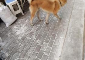 寻狗启示,日本秋田犬寻找亲爱的主人,它是一只非常可爱的宠物狗狗,希望它早日回家,不要变成流浪狗。