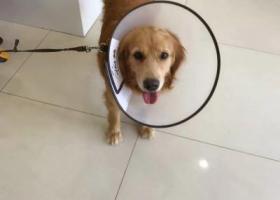 寻狗启示,青岛市崂山区枯桃村张村河附近丢失一条金毛犬,它是一只非常可爱的宠物狗狗,希望它早日回家,不要变成流浪狗。