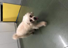 寻狗启示,越秀区国际银行中心这狗狗乱跑,它是一只非常可爱的宠物狗狗,希望它早日回家,不要变成流浪狗。