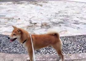 寻狗启示,广东广州番禺区寻找柴犬-已找到,它是一只非常可爱的宠物狗狗,希望它早日回家,不要变成流浪狗。
