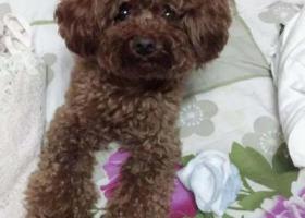 寻狗启示,上海市金山区张堰镇东风新村22号楼丢失一只红棕色雄性泰迪,它是一只非常可爱的宠物狗狗,希望它早日回家,不要变成流浪狗。